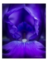 Blue Bearded Iris Macro