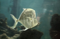 Translucent Fish