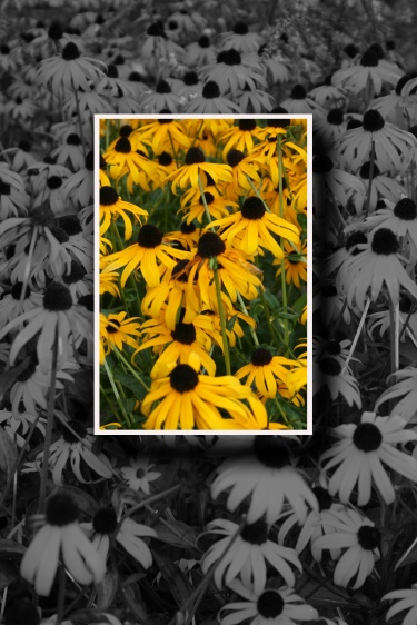 Black Eyed Susan Color Sq