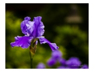 Blue Bearded Iris 1